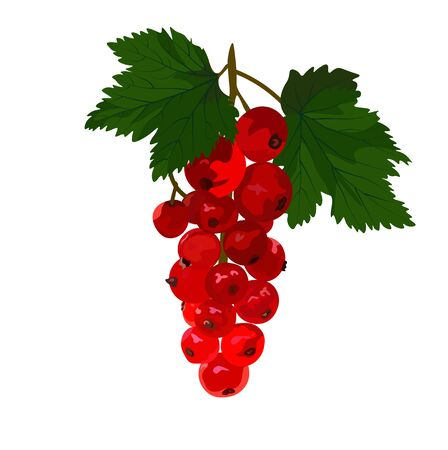 Vector stock illustration of red currant. Delicious berries close-up. Isolated on a white background. Forest dessert.