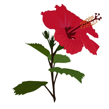 Vector stock illustration of a Hibiscus flower. Bright red tropical flower. Rose-petal. Exotic botany of Asia. Closeup macro detailed view. Isolated on a white background.