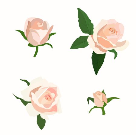 Vector stock illustration of a cream rose. Set of buds and flowers close-up. Watercolor peony of a delicate beige color. Isolated on a white background.