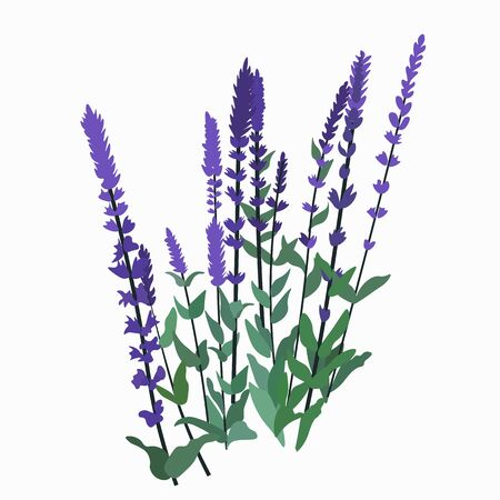 Vector stock illustration of sage. Purple wildflowers. Meadow and garden with lavender. Medicinal plants, seasoning for cooking. Aromatherapy, herbal tea ingredients. Pharmacy herb isolated on a white  イラスト・ベクター素材