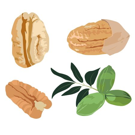 Tasty pecan nut, whole nuts in skins and pecan halves peeled, dried pecans set, close up. on white background. Vector stock illustration in the shell, not ripe, ripe with kernels and seeds.