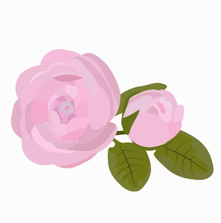 Vector Botanical stock illustration of the Ranunculus flower. Delicate pink Bud with isolated leaves on a white background. Spring greens. For invitations, postcards. Wedding mockup, wedding floral