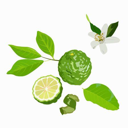 Vector stock illustration of bergamot. Green citrus fruit and bergamot flower peel and leaves. For labels, packaging: of Spa aroma oil tea. Bergamot fruit with cut in half isolated on white background