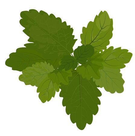 Stock vector illustration of fresh lemon balm mint. Spring mint green leaves close-up for medicine. Isolated on a white background. Thyme oregano