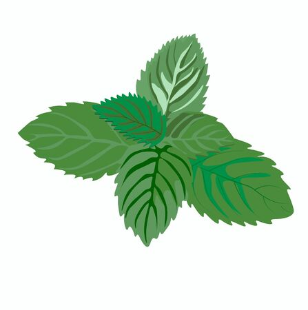 Stock vector illustration of fresh lemon balm mint. Sprigs for herbal tea, Mojito cocktails, lemonade. Spring mint green leaves close-up for medicine. Isolated on a white background. Thyme oregano Vettoriali