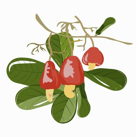 Vector illustration of a branch with cashew nuts. Watercolor green leaves and ripe red fruits. For the preparation and packaging of snacks and beverages, vitamins and eco-nutrition.