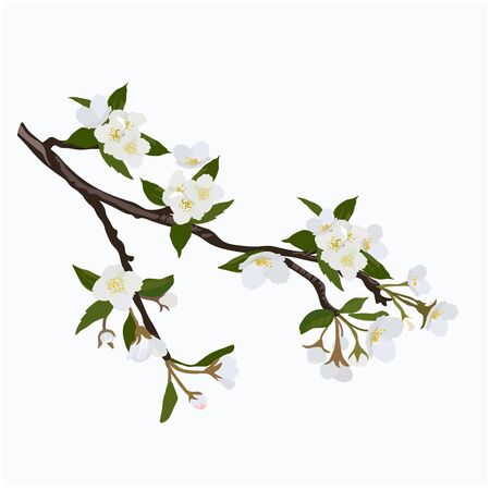 Vector stock illustration of a spring branch of Jasmine. The cherry blossoms. White apricot flowers. Apple tree in bloom. Fragrant delicate wedding card. Isolated on a white background. Watercolor  イラスト・ベクター素材