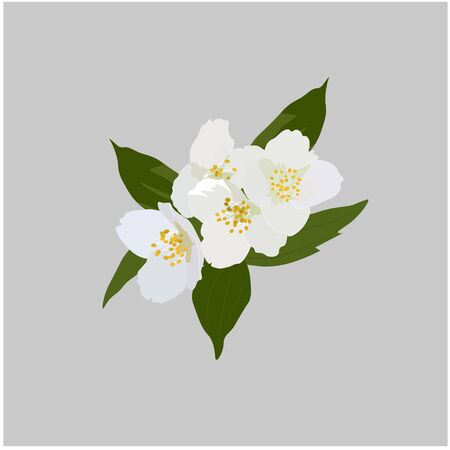 Vector stock illustration of Jasmine flowers. White Apple blossoms, cherry blossoms. Fragrant spring buds. Watercolor greens. For packaging tea and aromatherapy, perfumes. southern jasmine variety  イラスト・ベクター素材