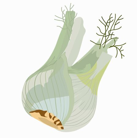 Vector stock illustration of fresh organic fennel. Bulb. Isolated on a white background.  イラスト・ベクター素材