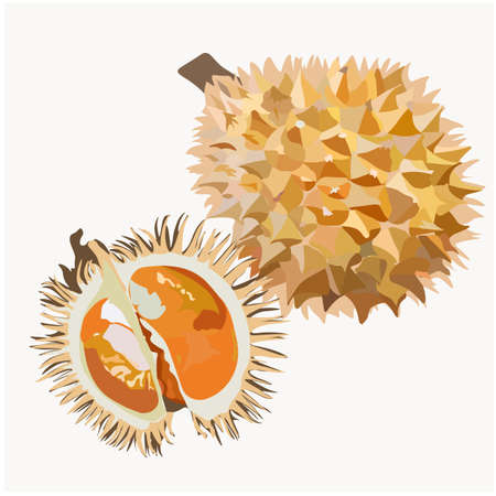 Fresh durian cut into pieces. Vector Fresh durian cut into pieces. Vector stock illustration of a tropical fruit. Exotic fruit of Thailand and Malaysia. Asian dessert. Pulp.