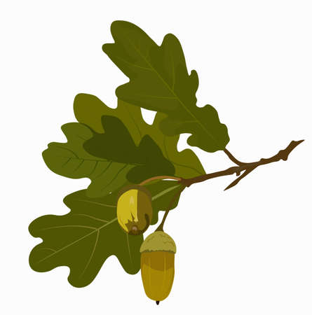 Green oak leaves and acorns. Oak crown. California red oak branch. Hazelnut close-up. A branch of a deciduous tree. Vector stock illustration of an oak acorn isolated on a white background. Grove.