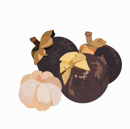 Mangosteen. Stock vector illustration of exotic tropical fruit Mongkut. Purple ripe round fruit Asian dessert. Cuisine of Thailand. Isolated on a white background.Garcinia  イラスト・ベクター素材