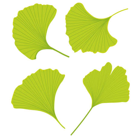 Vector stock illustration of gingko leaf. Pastel poster for a wedding invitation. Gentle botany. gingko biloba bright green color close-up. Isolated on a white background.