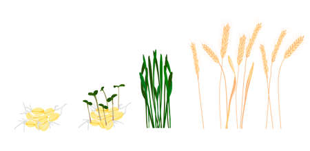 Wheat growth stage vector stock illustration. Cycle of growth of a wheat plant. Isolated on a white background. Vettoriali