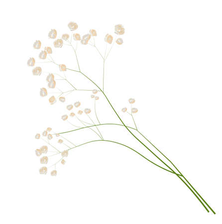 Gypsophila stock vector illustration. Delicate elegant floral for an invitation. Cream color. Dry flowers in pastel colors isolated on a white background. Vecteurs