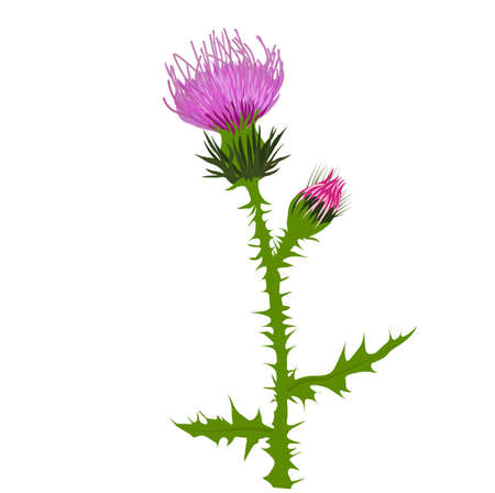 Thistle vector stock illustration close up. Superfood thistle medical herb. Hand drawn composition of a Scottish purple Bud, Field flower, meadow grass. Isolated on a white background