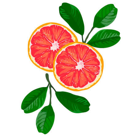 Red orange vector stock illustration. Large citrus blood fruit Moro, Sanguinelli, Tarocco. A poster for a cocktail label. Isolated on a white background.