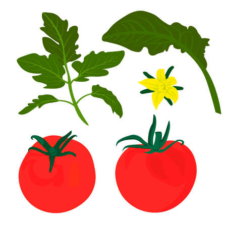 Red tomatoes vector stock illustration. A set of leaves and ripe tomato fruits. Round vegetables for cooking recipes. Isolated on a white background.