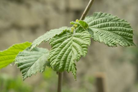 hazel branches: fragment of a hazelnut tree