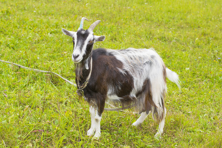 nanny goat: black and white goat is walking on the green grass