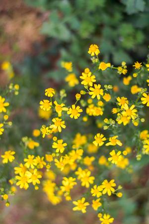 senecio: plant Senecio springtime outdoors close up