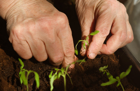 transplanting densely planted tomato shoots