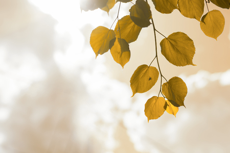 background from the leaves of the lime trees in the sunlight. toned