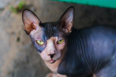 stray cat of breed a Sphinx outdoors Stock Photo