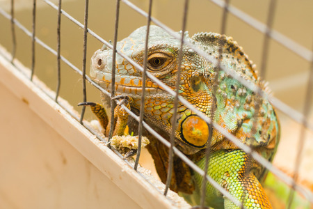 iguana in a cage in a zoo close-up