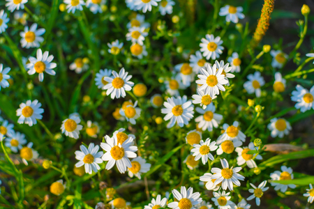 beautiful daisies on the field, top view