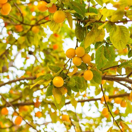 cherry plum berries hanging on the tree