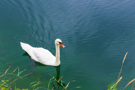 lonely white Swan floating on the lake