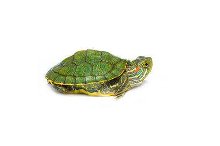 little red-eared turtle on white isolated background Archivio Fotografico