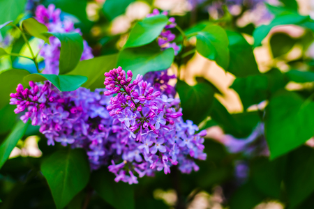 branch of blooming lilac in the spring Standard-Bild