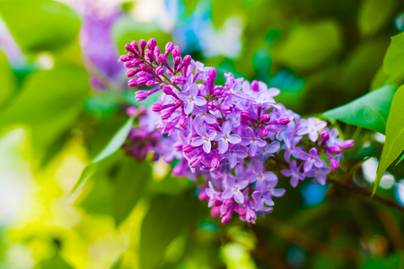 branch of blooming lilac in the spring Stock Photo