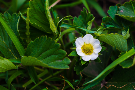 flowers of strawberries on a garden in the spring