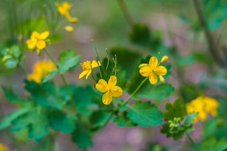 Wild flowers of acrid Buttercup in the natural environment Stock Photo