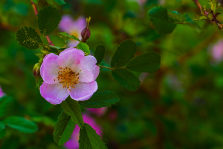 dog rose blooms in the natural environment in the spring Stock Photo