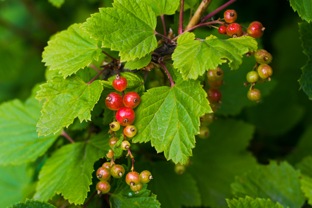 growing berries of red currant