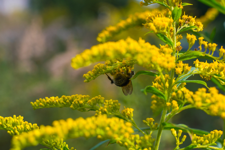 field flower Golden rod. Bumblebee collects nectar