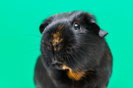 adult Guinea pig close-up