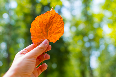 autumn leaf Linden in hands