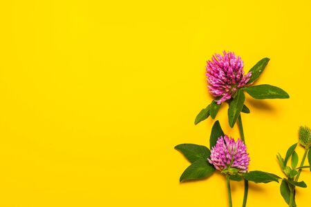 clover flowers on yellow background with copy space