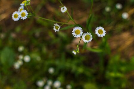 white Erigeron annuus flowers in natural environment
