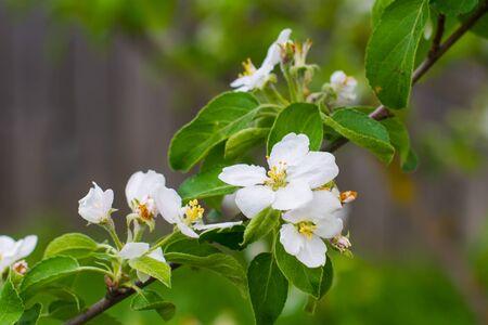 branch of flowering Apple tree in early spring
