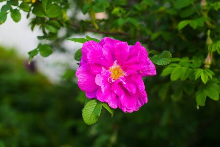 wild rose blooming in natural environment in spring