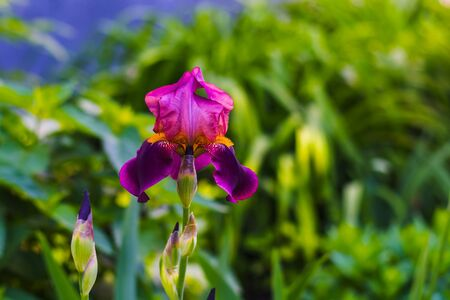 blooming irises in the spring on a natural background