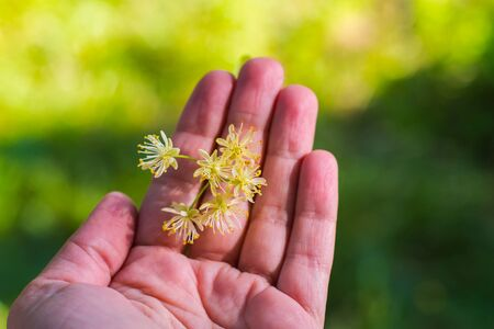 fragrant Linden blossom in the hands outdoors Stok Fotoğraf