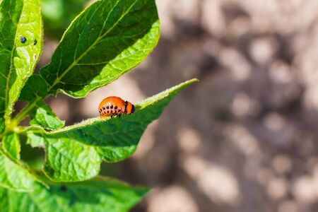 larvae of Colorado potato beetles on potato fields