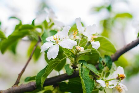 branch of flowering Apple tree in early spring